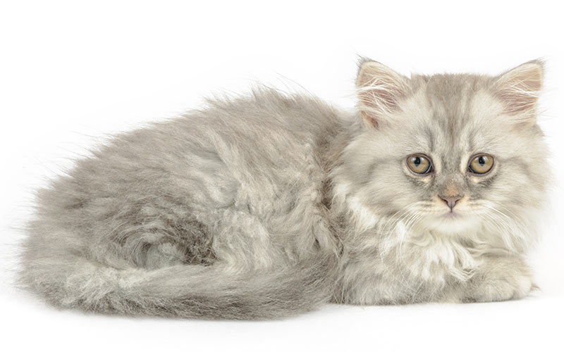 Long Haired Cat Of Siberian Breed Hypoallergenic Domestic Kitten With Hair Brown Tabby