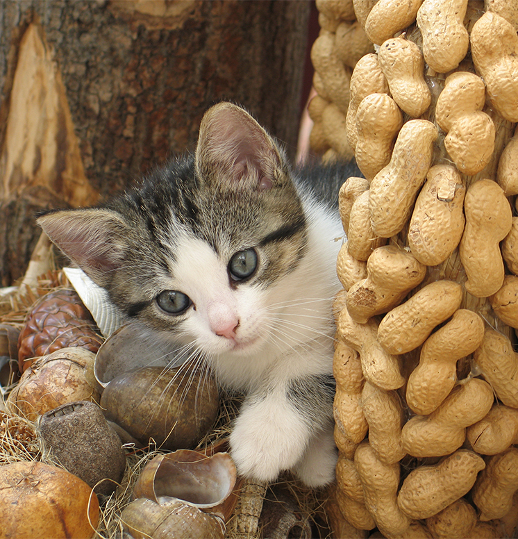 Can Kittens Eat Peanut Butter?