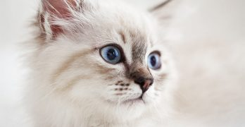 The Siberian Cat – A Complete Guide