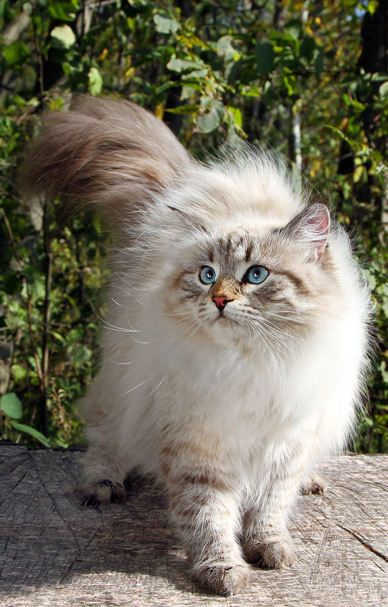 Siberian Cats - A complete breed review