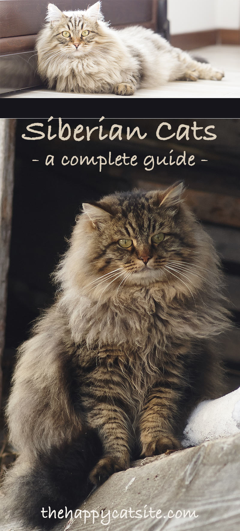 Siberian Cat: A Complete Guide to the Unique Siberian Forest Cat