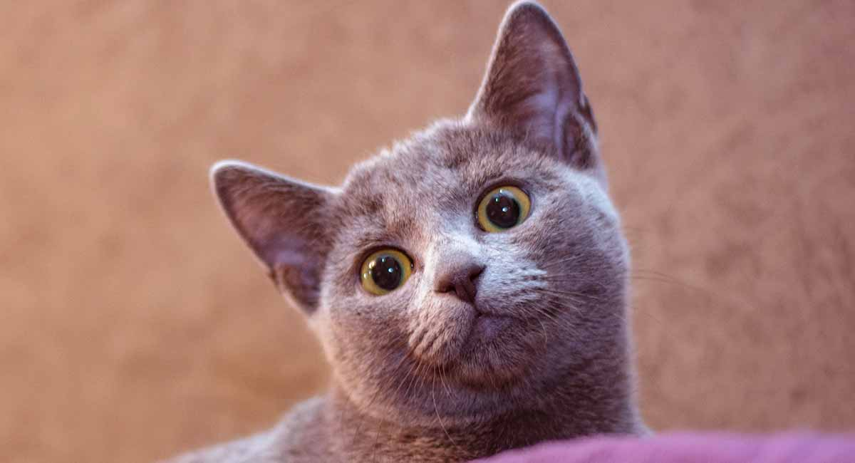 Russian Blue Cat Breed Information Center A Guide To The Russian Blue