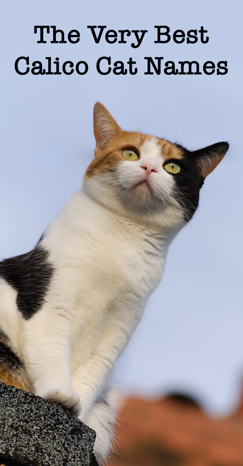 Calico Cat Names - 250 Great Ideas For Naming Your Calico Kitten