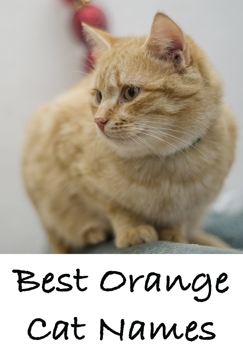 Orange Cat Names 135 Best Names For Ginger Kittens