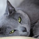 The Russian Blue Cat – A Complete Guide To The Breed