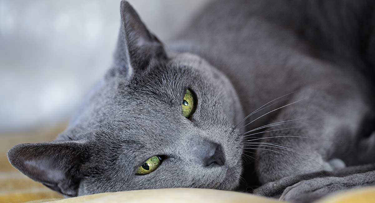 The Russian Blue Cat Breed