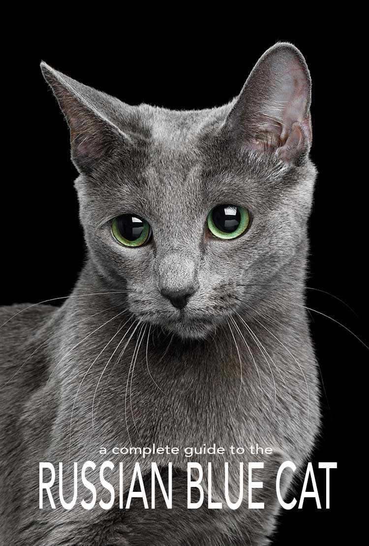 The Russian Blue Cat A Guide To The Breed From The Happy Cat Site