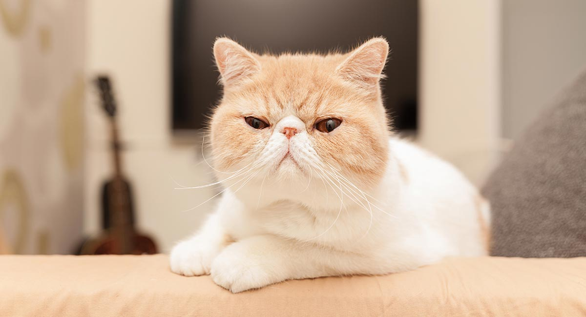 Exotic Shorthair Cat Information Center - A Breed Guide