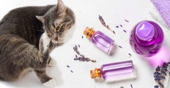 lavender essential oil for fleas on cats