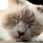The Birman Cat Breed – A Complete Guide