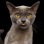 The Burmese Cat – A Complete Guide