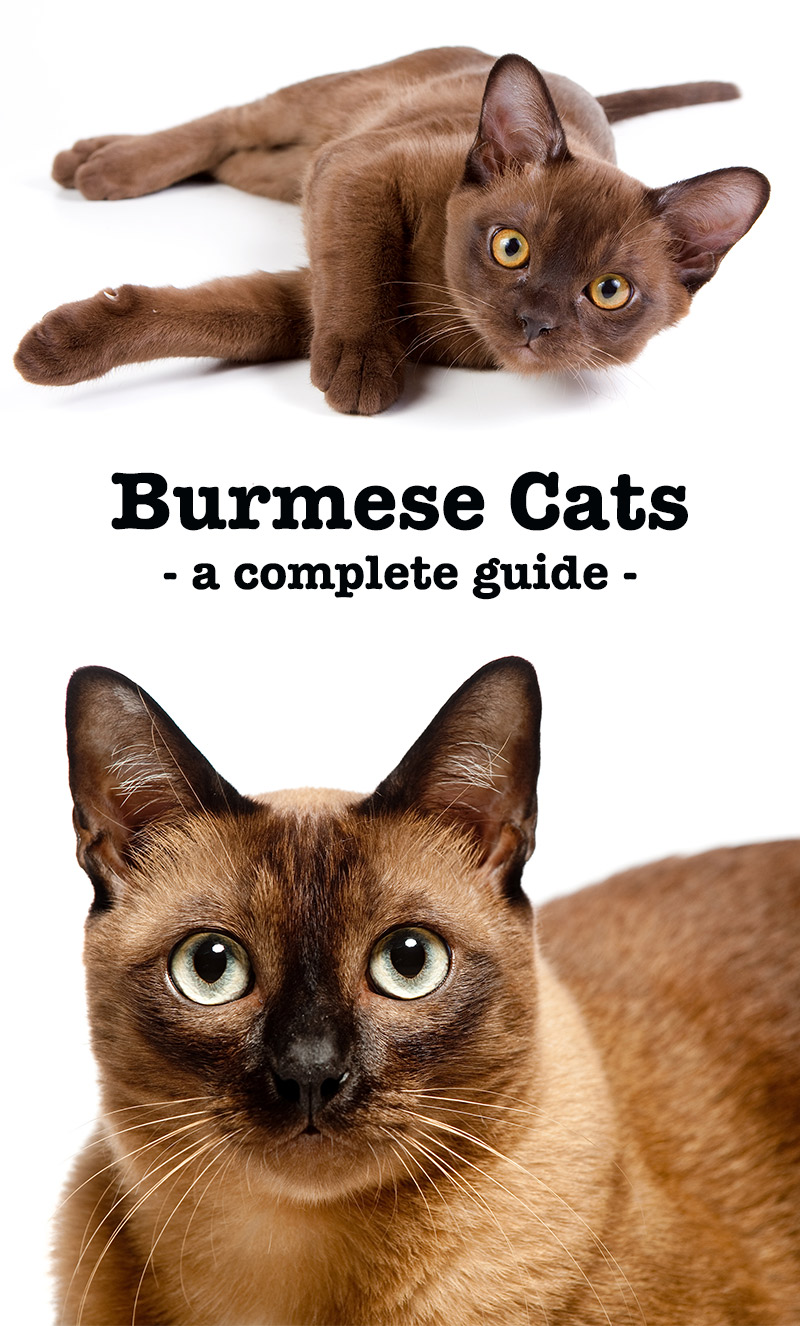 The Burmese Cat - A Complete Guide To The Breed
