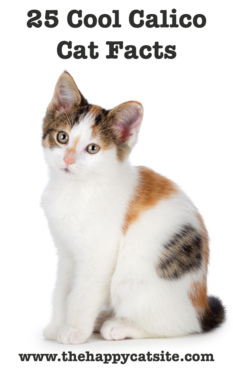 25 Amazing Calico Cat Facts