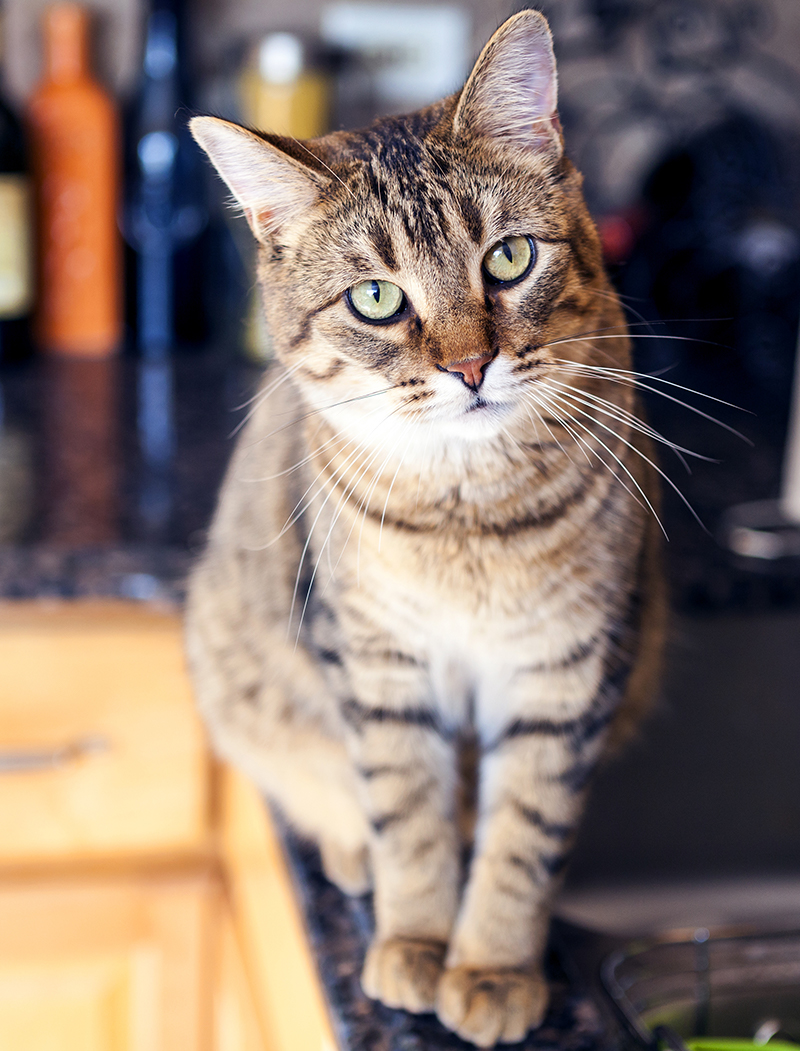 Tabby Cat Facts - 30 Fun And Fascinating Facts For Tabby Kitten Owners