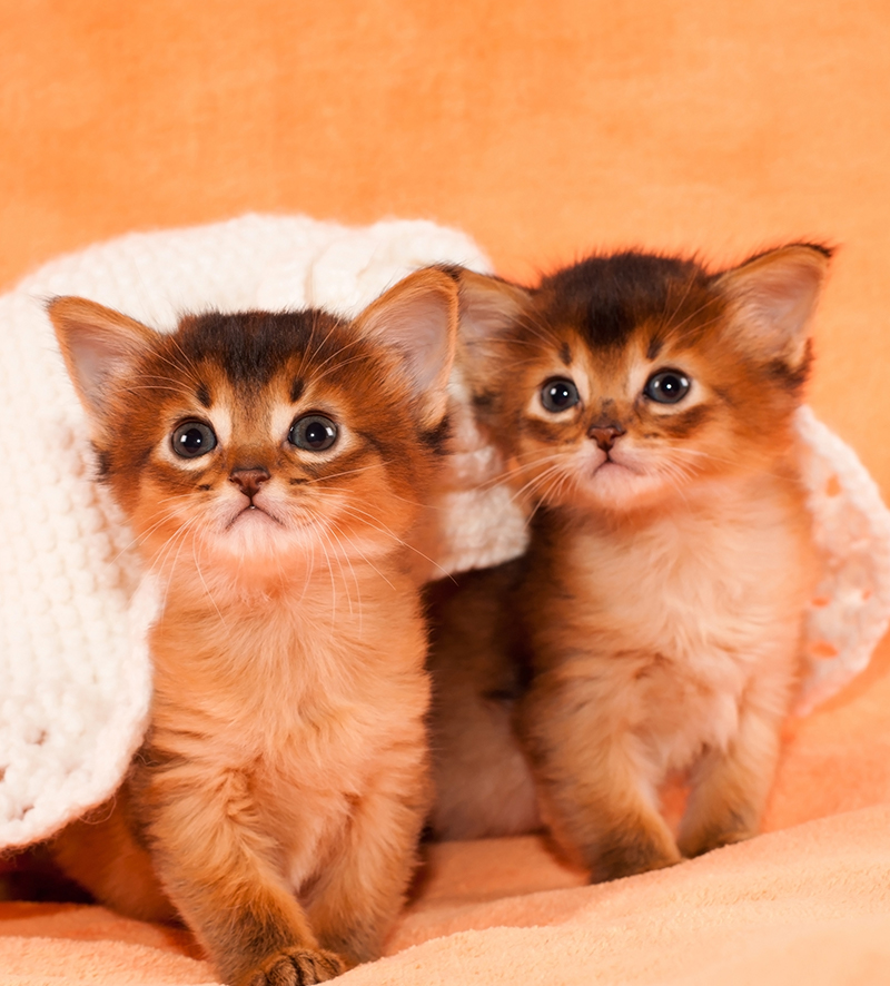 somali cat kittens