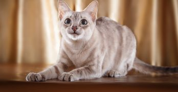 Tonkinese Cats – A Complete Guide To The Breed