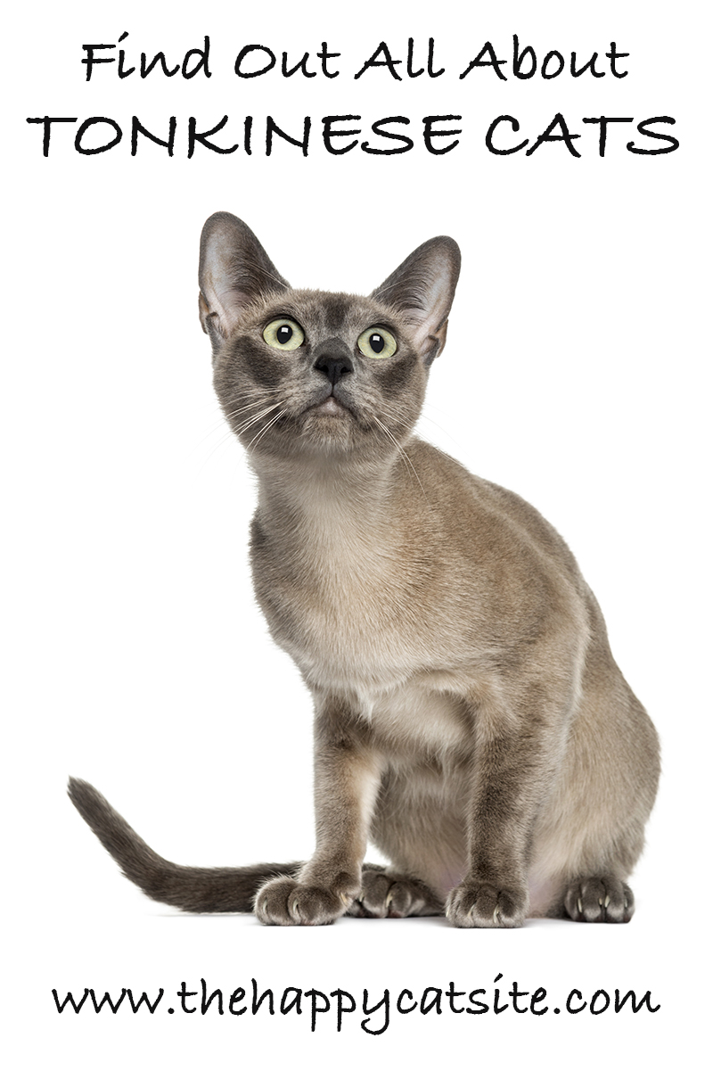 Tonkinese Cats - A Com...