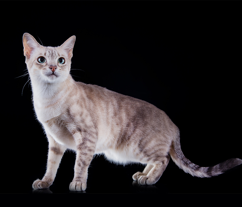 Tonkinese Cats A Complete Guide To This Unusual Breed