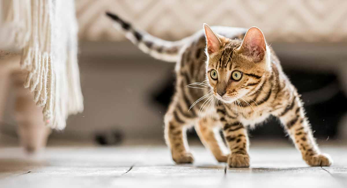 Tabby Cat Facts 30 Fun And Fascinating Facts For Tabby Kitten Owners