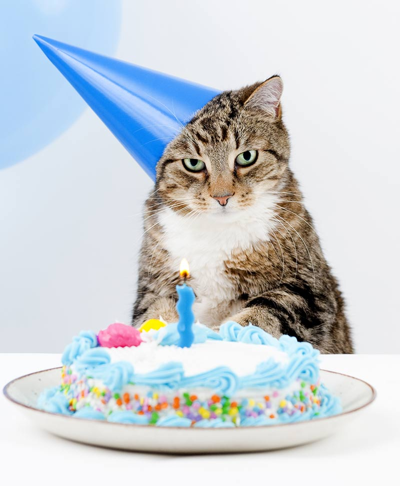 cat birthday cake recipes