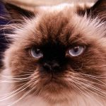 Himalayan Cat – A Guide To The Breed