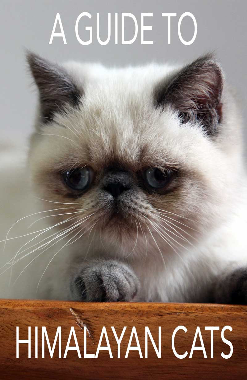 A complete guide to the Himalayan Cat breed, and to the pros and cons of buying a Himalayan kitten