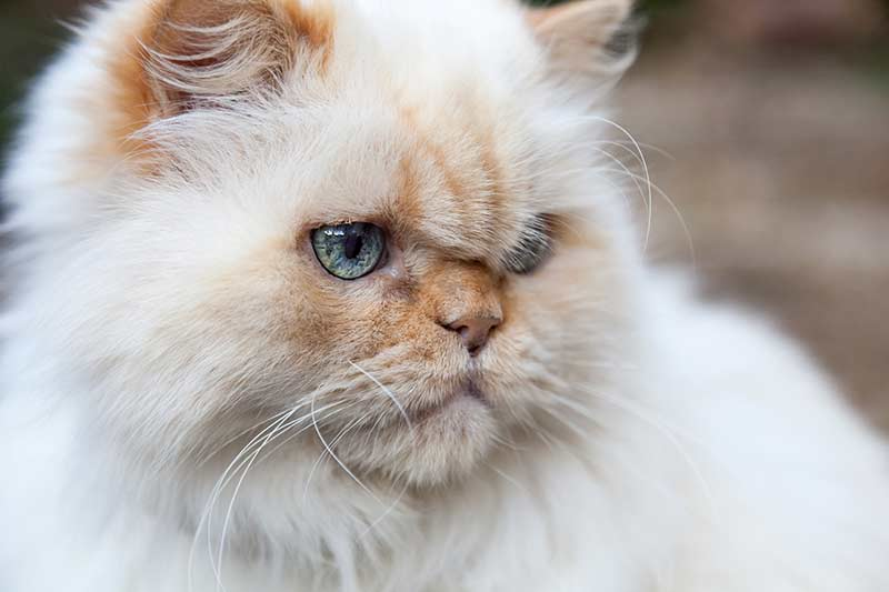 Himalayan cats are related to Persians