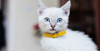 Best Kitten Collars