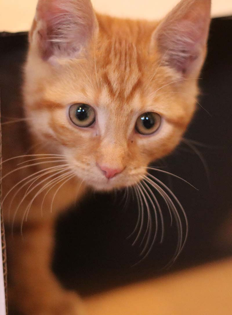orange tabby cat with amber eyes