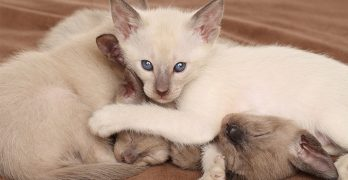 Oriental Shorthair Cat Breed Information