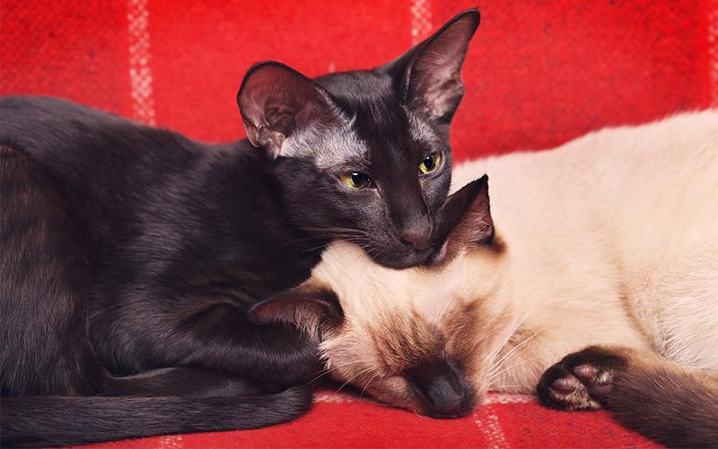 Oriental Shorthair Cat Breed Information - black oriental shorthair cat
