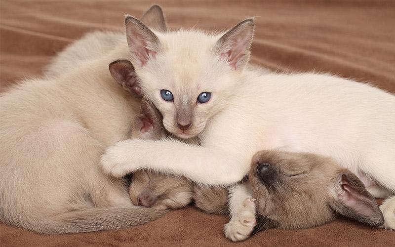 Oriental Shorthair Cat Breed Information