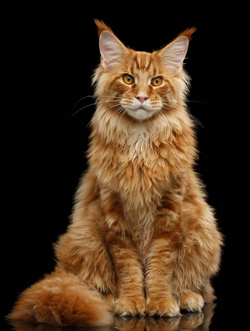 Maine Coon Orange Tabby Cat