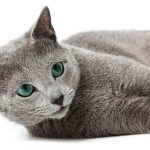 Russian Blue Cat Names – 300 Brilliant Ideas For Naming your Russian Cat