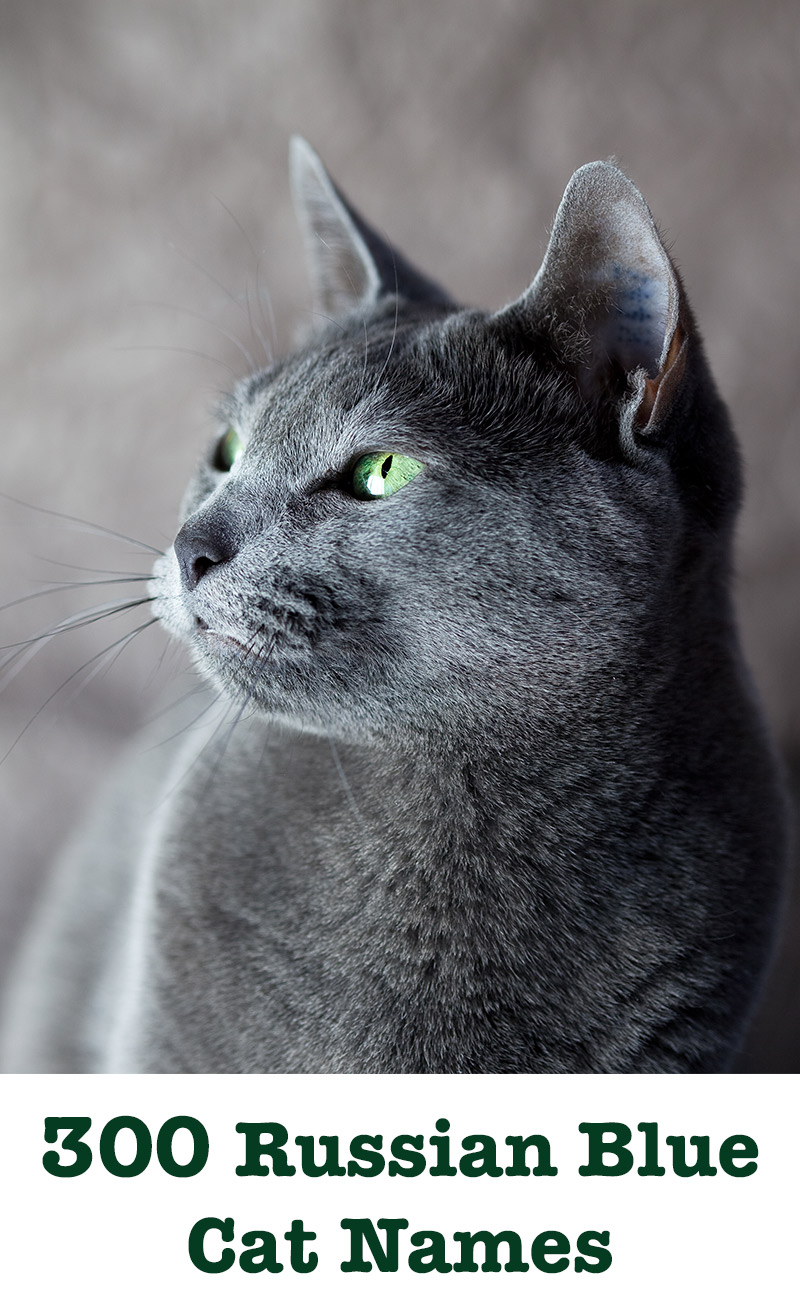 Russian Blue Cat Names 300 Brilliant Russian Cat Name Ideas