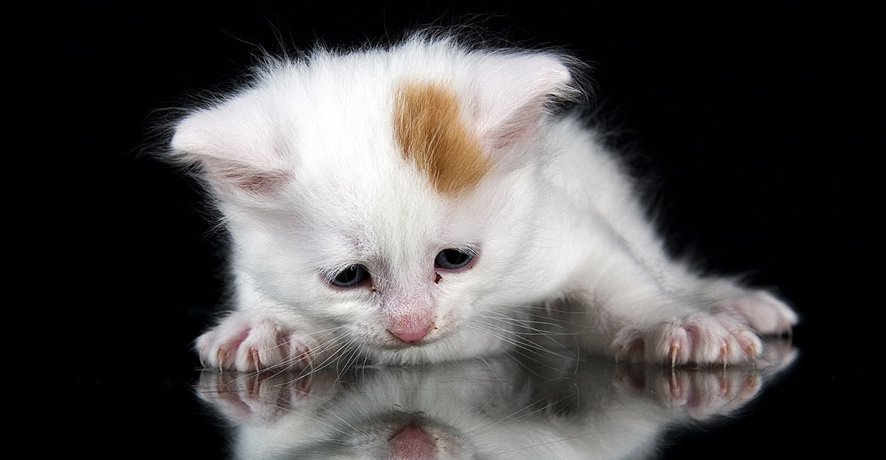 9ece7f1da3 Turkish Van Cat - A Complete Guide To An Amazing Breed