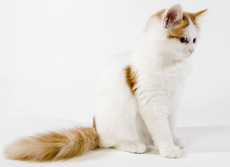 a1206dc7bb Turkish Van Cat - A Complete Guide To An Amazing Breed