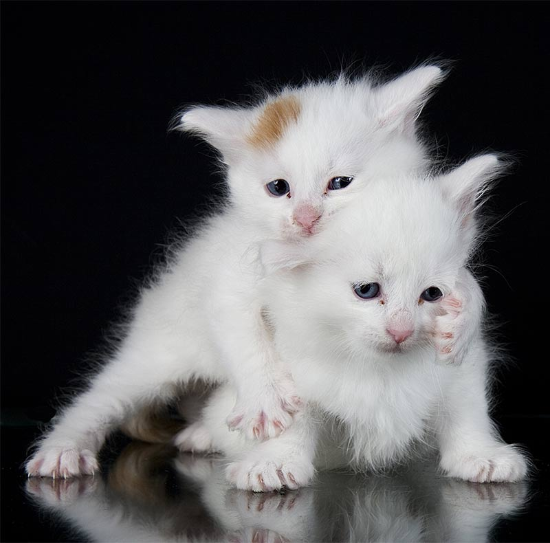 Turkish Van Cat Kittens