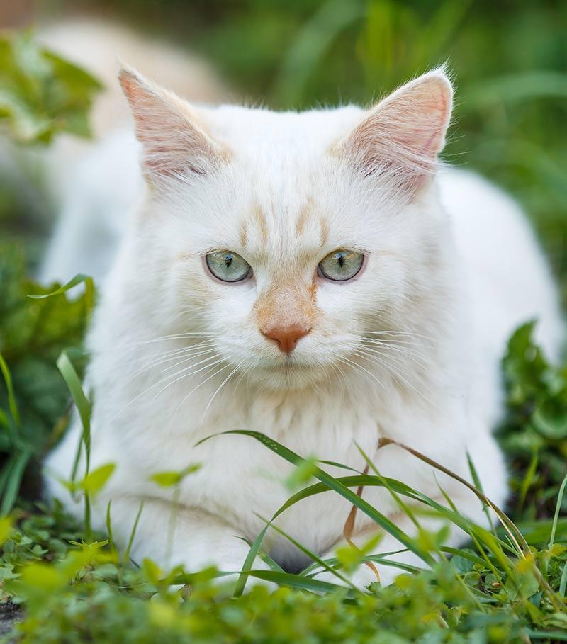 Turkish Van Cat Temperament
