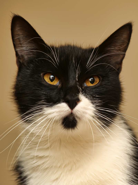 tuxedo cat with beard