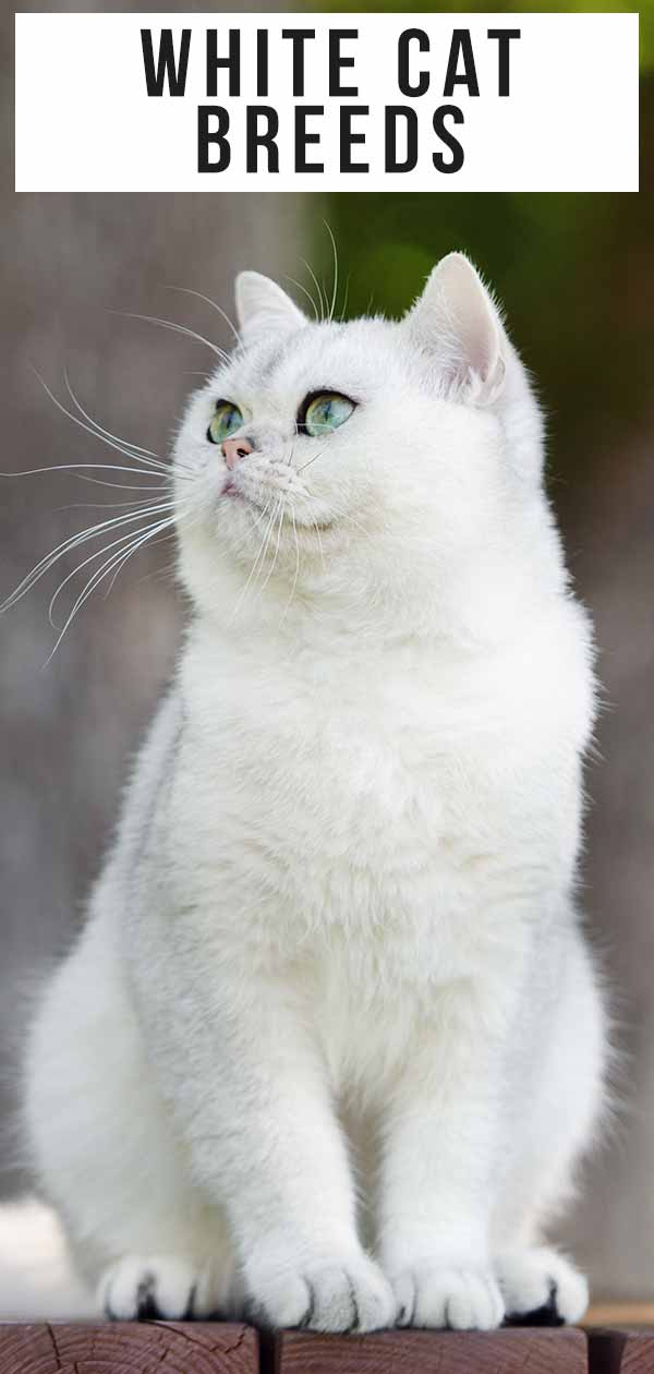 White Cat Breeds The Most Popular White Cat Breeds And Their Care