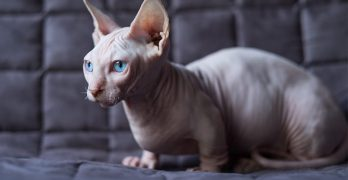Bambino Cat – The Sphynx Cat Munchkin Mix