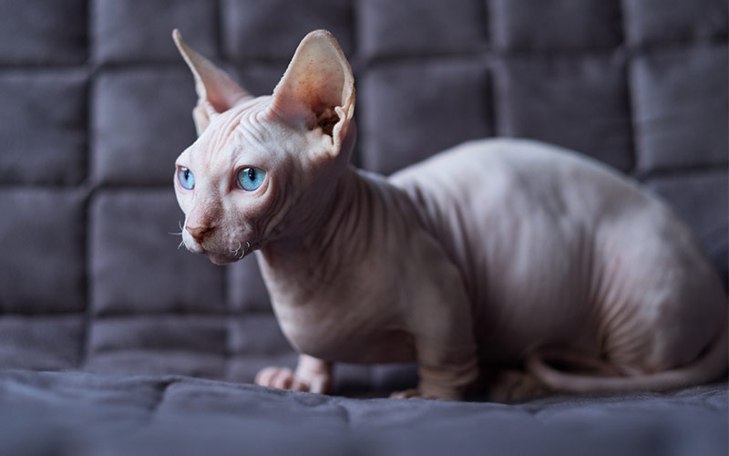 Bambino cat breed