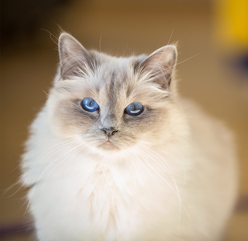 Fluffiest Cat Breed - Birman