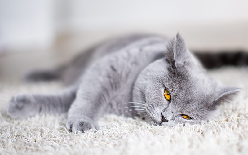 Fluffiest Cat Breed - British Shorthair