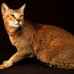 The Chausie Cat – A Complete Guide To This Exotic Hybrid Cat Breed