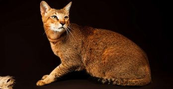 your guide to the chausie cat