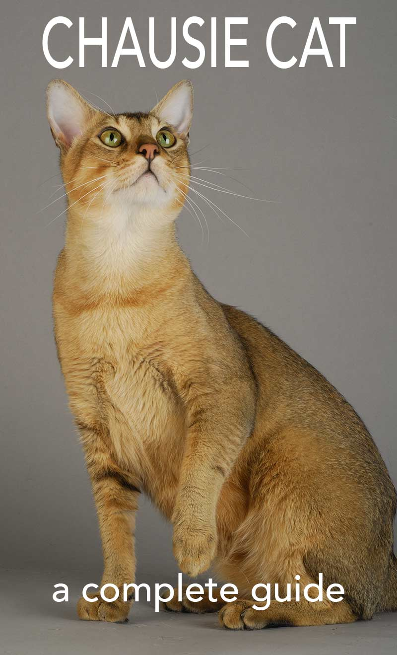 Chausie Cat - a complete guide to this exotic hybrid cat breed