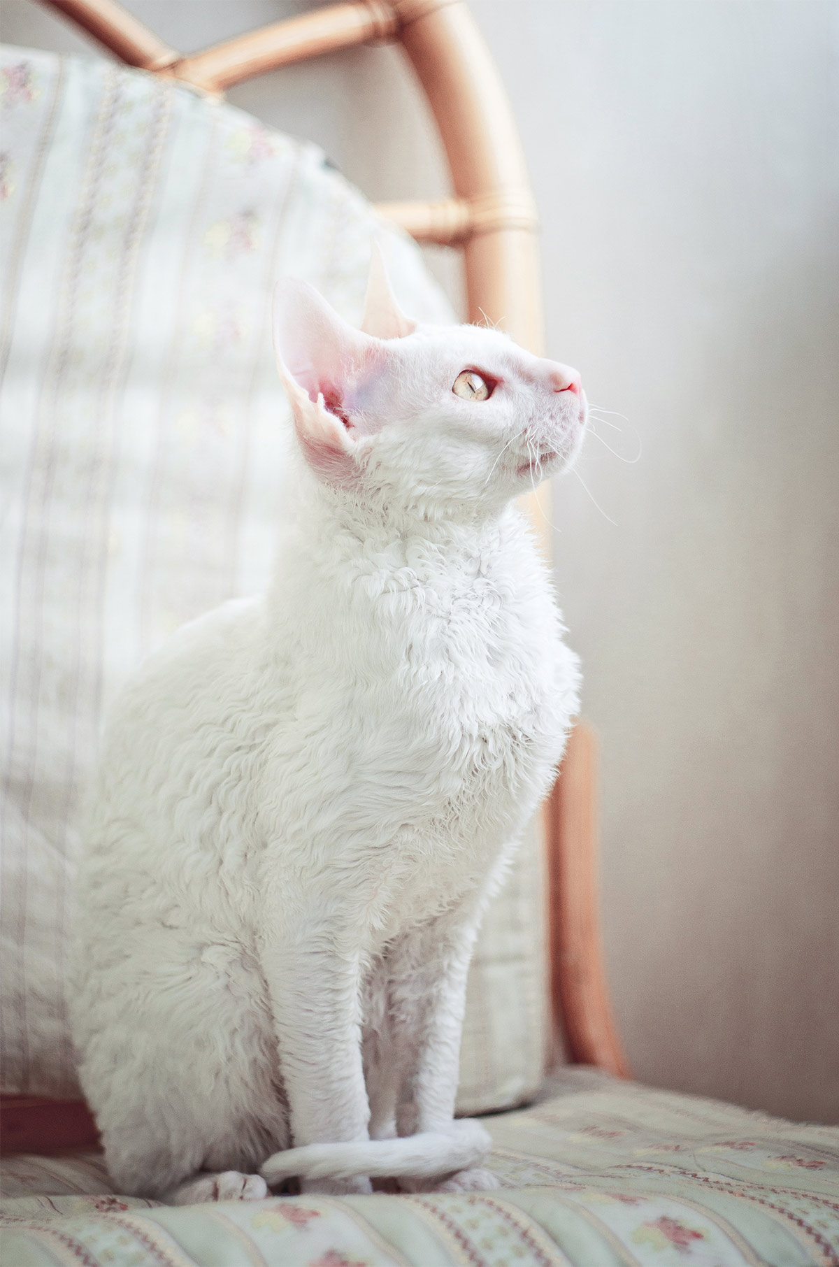 white cat breeds - cornish rex