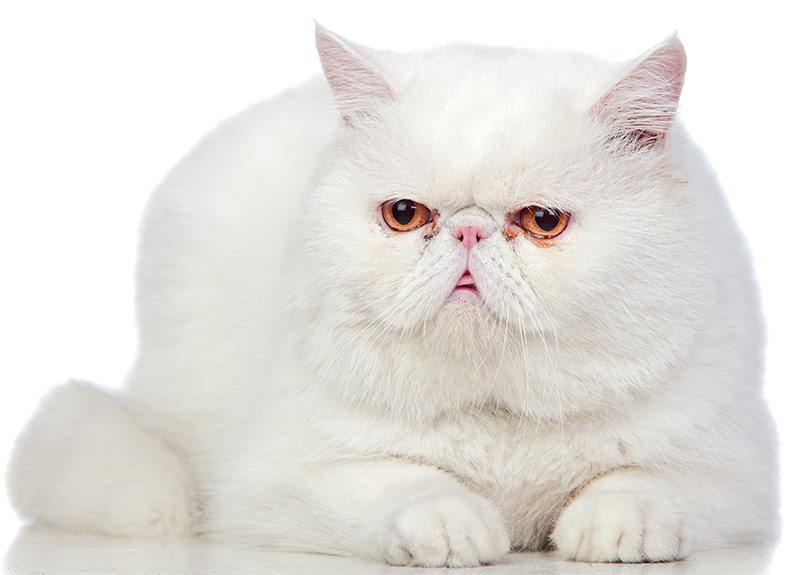 Fluffiest Cat Breed - Exotic Shorthair